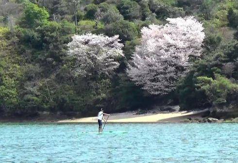 宮島の桜と、スタンドアップパドル・サーフィン