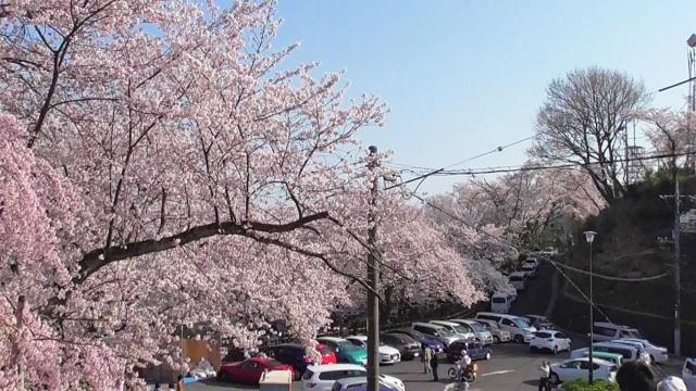 黄金山の桜 山頂からの眺め