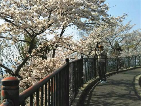 黄金山の桜 山頂付近の風景