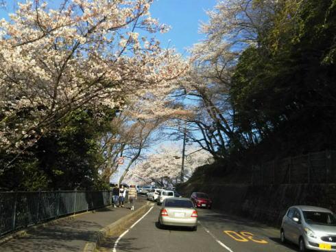 黄金山の桜 上る道中