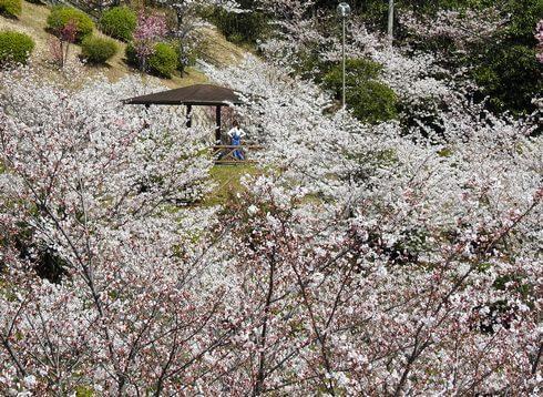 音戸の瀬戸公園の桜、中腹にある公園の桜が見事2