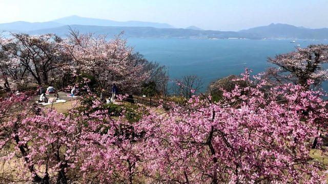 音戸の瀬戸公園の桜、平清盛が夕日を招き返したという伝説も