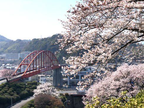 音戸大橋から見る桜