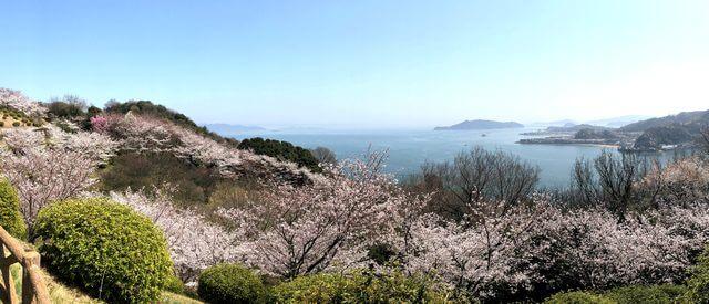 音戸の瀬戸公園の桜、パノラマ