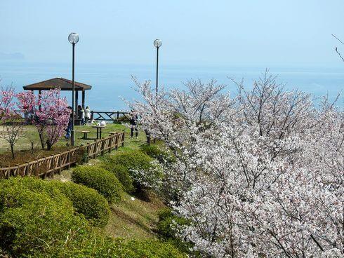 音戸の瀬戸公園の桜、中腹にある公園