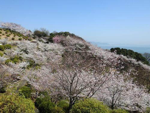 音戸の瀬戸公園の桜、中腹にある公園の桜が見事