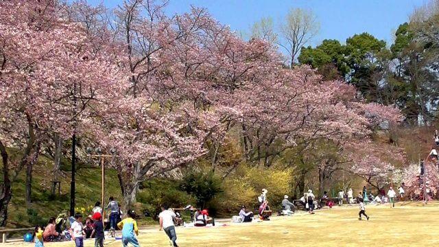 植物公園の桜は広島県内最多67種、夜桜ライトアップも