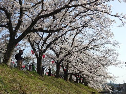 広島県廿日市市 住吉堤防敷 桜並木の様子7