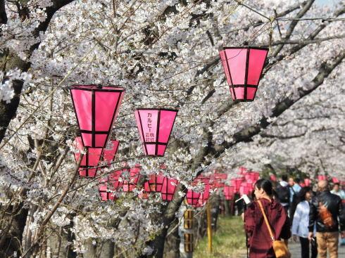広島県廿日市市 住吉堤防敷 桜並木の様子3