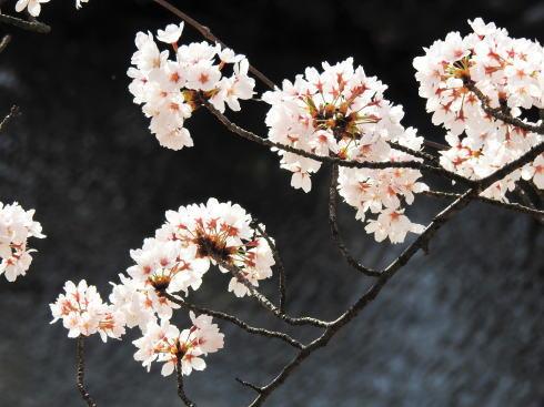 広島県廿日市市 住吉堤防敷 桜並木の様子5