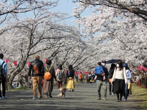 広島県廿日市市 住吉堤防敷 桜並木の様子2