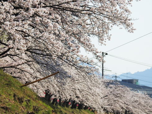 廿日市市 住吉堤防の桜 画像2
