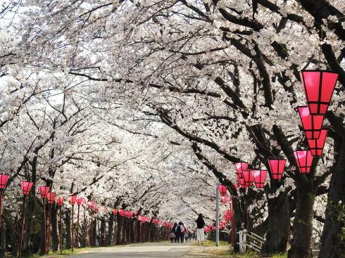 廿日市市 住吉堤防の桜