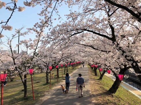 広島県廿日市市 住吉堤防敷 桜並木の様子4