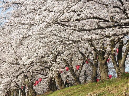 広島県廿日市市 住吉堤防敷 桜並木の様子6