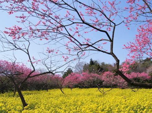 桃色の園、ラ・スカイファームの菊桃は今からが見ごろ!