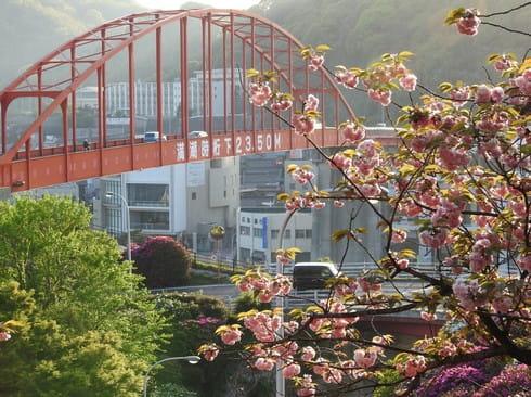音戸大橋、遅咲きの桜とツツジがみごろ
