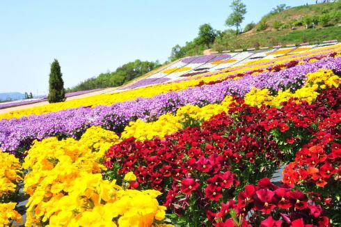 世羅ゆり園 ビオラ畑イメージ