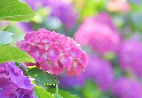 広島市植物公園にもアジサイ