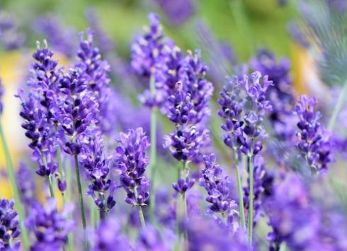 香山ラベンダーの丘、紫の畑と香りに癒されて