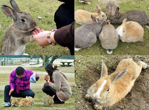 大久野島への観光客数、過去最高へ!ウサギ島人気 SNS拡散などで
