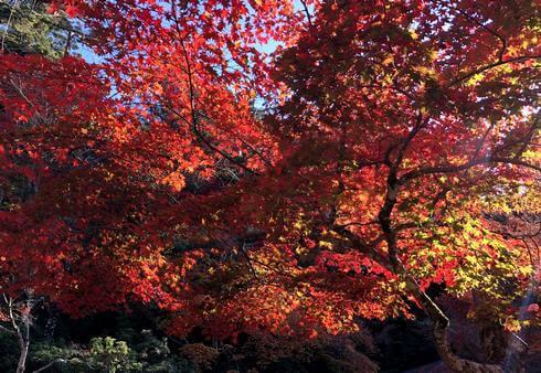 紅葉谷公園の紅葉がピーク