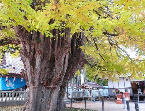 筒賀の大銀杏は広島県内でも屈指の巨木