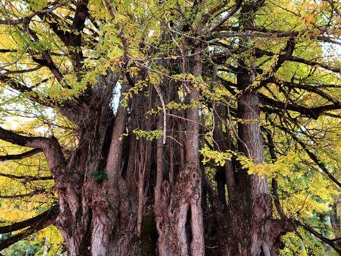 筒賀の大銀杏、樹齢1100年の迫力のイチョウはまさにパワースポット