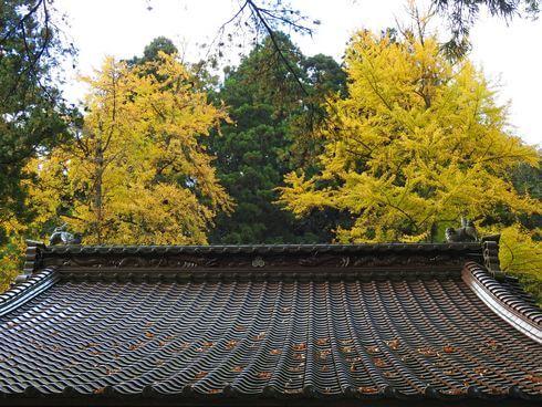 大歳神社の裏にも、立派な銀杏の木が