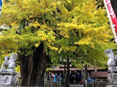筒賀の大銀杏、筒賀神社(大歳神社)で紅葉みごろ