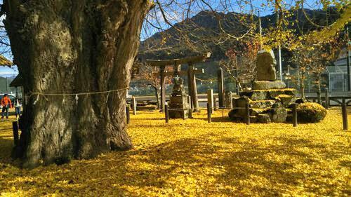 筒賀の大銀杏、落ちたイチョウの葉で地面が黄金色に