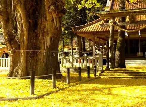 黄金色のじゅうたん、筒賀の大銀杏