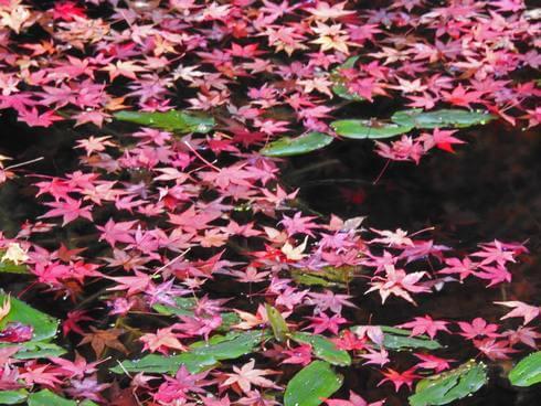 水面に浮かぶ赤い江戸モミジ、吉水園の紅葉