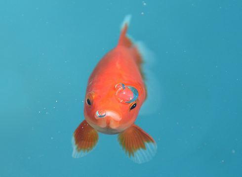宮島水族館で「宮島きんぎょ会」足湯も4月まで開催