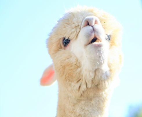 アルパカにコールダック!熊高生の「熊野フェスティバル」に動物園