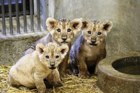 冬の安佐動物園に3頭ライオンベビー、入園無料日も