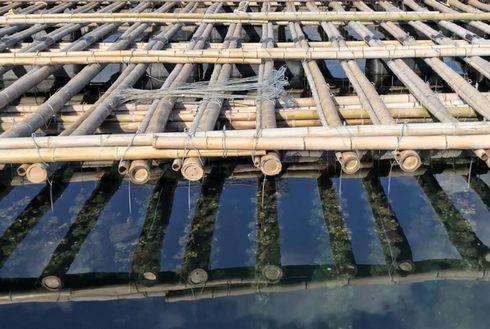筏に吊るされた牡蠣