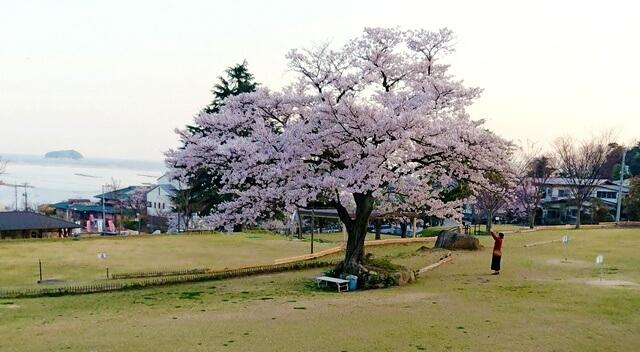 宮浜グラウンドゴルフ場の桜