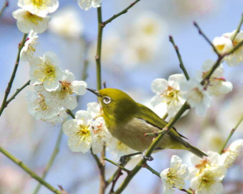 松濤園で梅見茶会、瀬戸内の景色を背にお茶席を