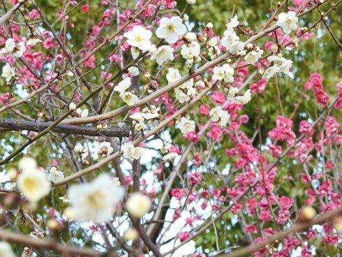 八木梅林公園、紅梅や白梅など