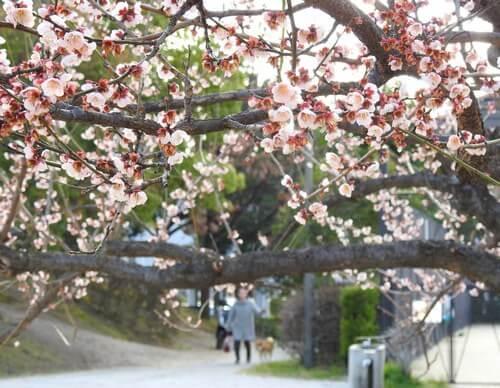 八木梅林公園、開花で春を告げる広島市の梅林公園