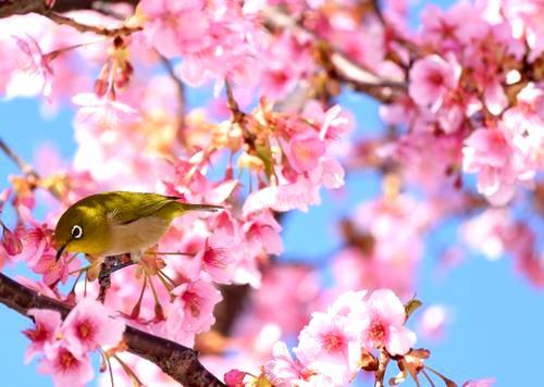 河津桜が満開!呉市・県民の浜で