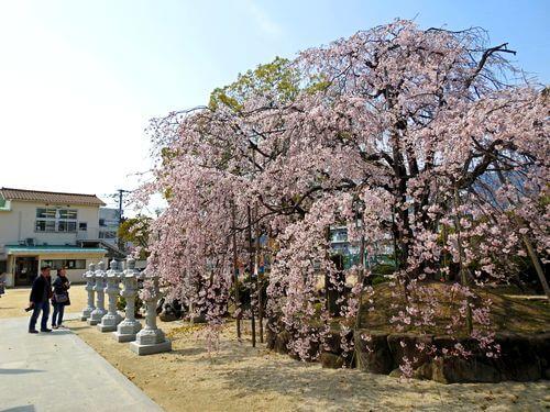 観音神社のしだれ桜、満開に