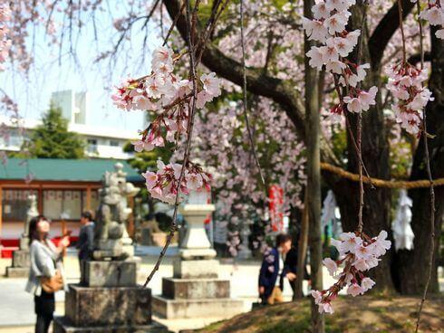 観音神社のしだれ桜、満開を楽しむ人々