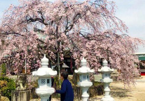 広島市・観音神社のシダレザクラが満開で見頃に
