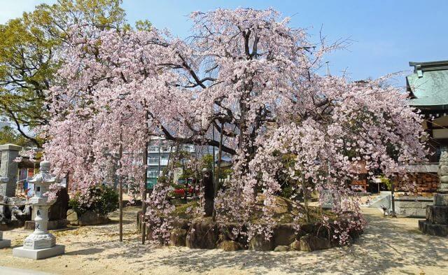 見事に満開に咲き誇る、観音神社の枝垂桜