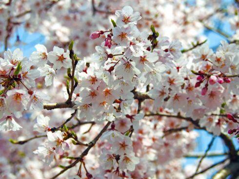 観音神社のしだれ桜が見頃に