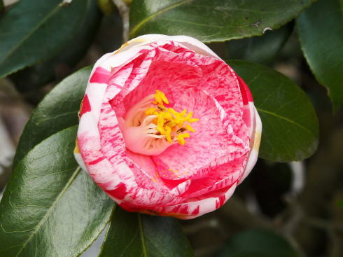 広島県福山市 平家谷つばき園 画像