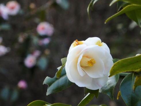広島県福山市 平家谷つばき園 画像10