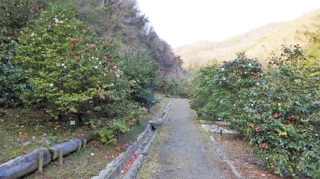 広島県福山市 平家谷つばき園 画像9